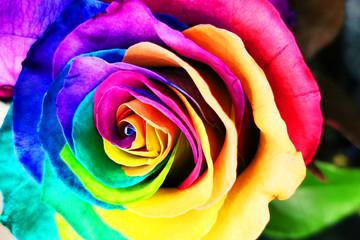 rainbow rose texture