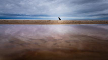 Nebelkrähe am Meer