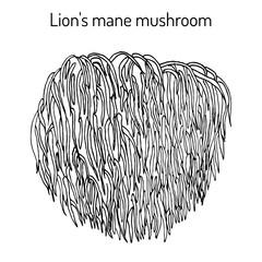 Fototapeta Lion s mane mushroom Hericium erinaceus , edible and medicinal plant
