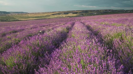 Wall Mural - Bush of lavender flower in big meadow. Agriculture and nature scene.