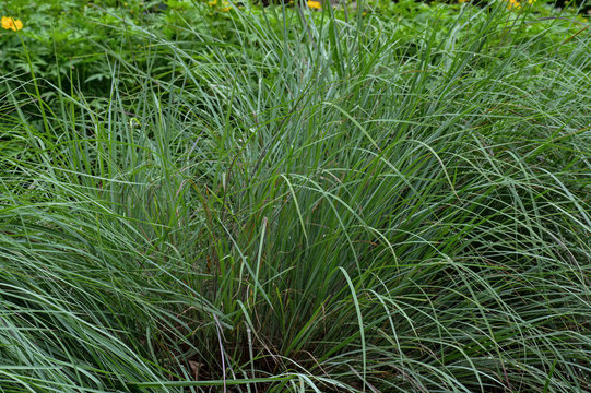 Little bluestem on a bright sunny day. Also known as Schizachyrium scoparium or beard grass, is a North American prairie grass native to most of the United States.