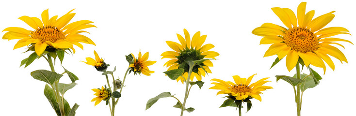 Poster Zonnebloem Five sunflower flowers on stems at various angles on white background