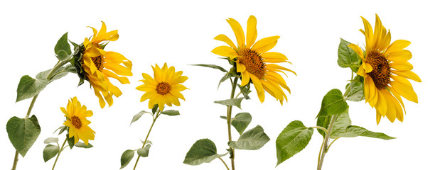 Few various sunflower flowers on stems at various angles on white background