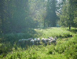 Sheeps and lambs on a meadow