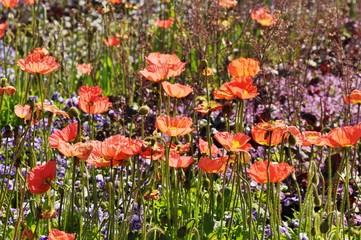Summer wallpaper of red and pink poppies. Flowers in green grass, Blooming meadow.