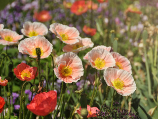 Fresh beautiful pink poppies in garden. Floral background.  Springtime and summer plants.