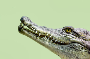 Autocollant pour porte Crocodile crocodile head isolated close up on a green background