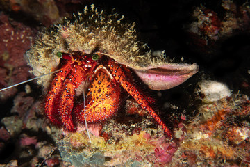 Big red hermit crab close up