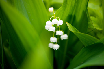 Wall Murals Lily of the valley spring lily of the valley flower