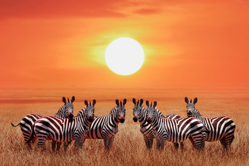 Wall Mural - Group of zebras in the African savanna against the beautiful sunset. Serengeti National Park. Tanzania. Wild life of Africa.