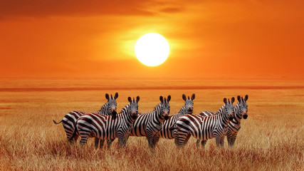 Wall Mural - Group of zebras in the African savanna against the beautiful sunset. Serengeti National Park. Tanzania. Africa.