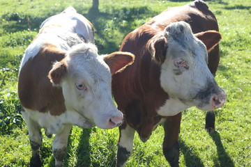 two young twin cows