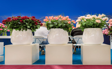 Many beautiful roses stand in three large white vases