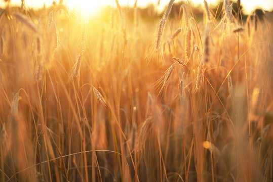 Agricultural crop field at sunset. Texture and close-up view. Pure golden light. Latvia
