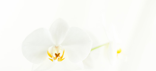 Foto op Canvas Orchidee White orchid flower in bloom, abstract floral blossom art background and flowers in nature for wedding invitation and luxury beauty brand holiday design