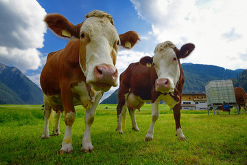 Cows on an alpine pasture.