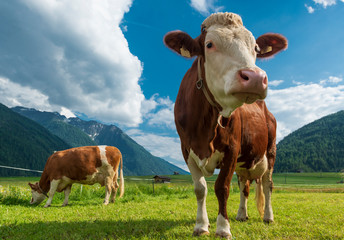 Two cows on an alpine pasture.