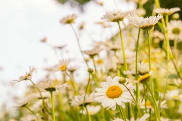 Sunny daisy field.