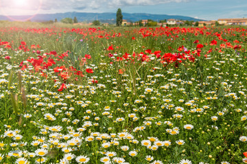Blooming wildflower field in spring.