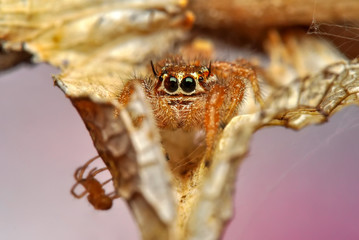 Foto op Canvas Vlinder Close up beautiful jumping spider