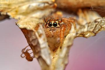 Fotobehang Vlinder Close up beautiful jumping spider