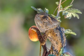 Fotobehang Vlinder Macro shots, Beautiful nature scene green chameleon