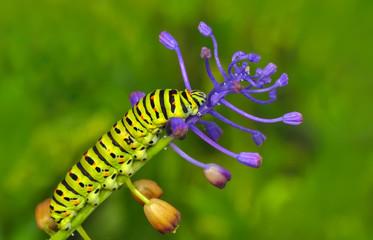 Fotobehang Vlinder Close up beautiful Сaterpillar of swallowtail