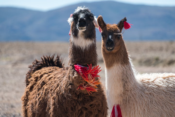 Photo sur cadre textile Lama Two Bolivian Llamas decorated with red yarn tassels in the wild