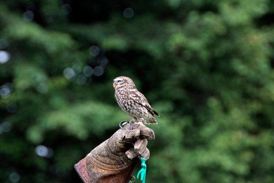 Kleiner Kauz auf Handschuh eines Falkners