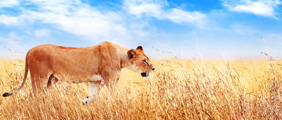Wall Mural - Lion female in the African savannah. Africa, Tanzania, Serengeti National Park. Banner design. Wild life of Africa.