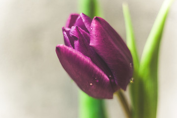 Fioletowe tulipany na szarym tle różowa wstążka