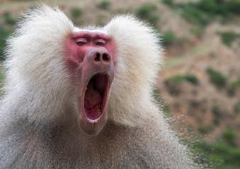 Hamadryas baboon papio hamadrya yawning, Central region, Asmara, Eritrea