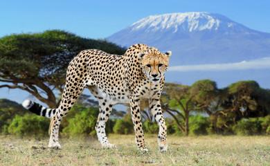 Wild african cheetah on Kilimanjaro background Wall mural