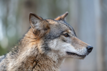 Close up timber wolf portrait in forest