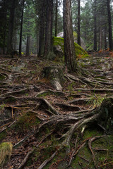 Old pine trees roots in the path through the lost woods, UNESCO World Heritage Geres National Park, Portugal.