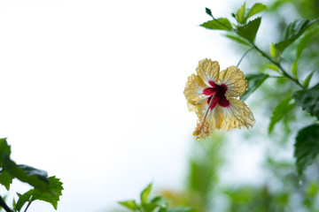 tropische karibische gelbe Blume mit Blühte vor weißen Hintergrund aus Jamaika