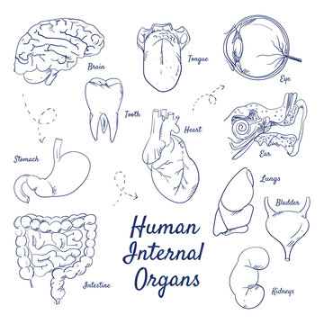 Doodle set of human internal Organs – Liver, Stomach, Kidneys, Lungs, Intestine, Eye, Tongue, Brain, Bladder, Ear, Tooth, Heart, hand-drawn. Vector sketch illustration isolated over white background.