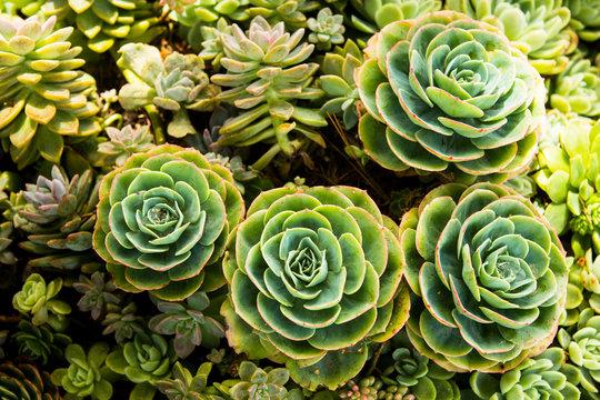 Portrait of a Sempervivum succulents in a California garden.