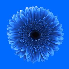 Blue gerbera daisy flower classic background