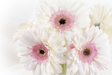 Door stickers Gerbera Close up of a white Gerber daisy flowers with a pink center and white vignette.