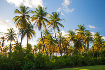 Coconut trees in the contrasting light of the setting sun against the blue sky, a game of colors. The nature of the subtropics, world tourism, flora.