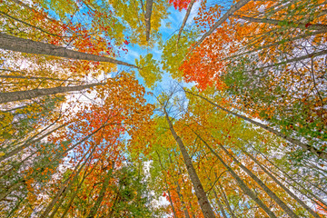 Looking up into the Fall Canopy