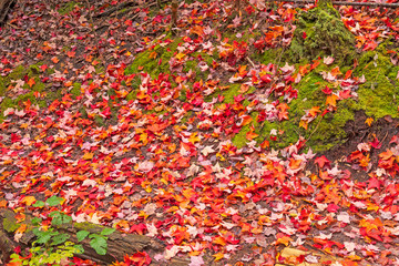 Carpet of Red on the Forest Floor