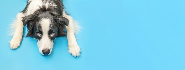 Funny studio portrait of cute smilling puppy dog border collie isolated on blue background. New lovely member of family little dog gazing and waiting for reward. Pet care and animals concept Banner Fotomurales