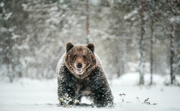 Adult Male of Brown  Bear walks through the winter forest in the snow. Front view. Snowfall, blizzard. Scientific name:  Ursus arctos. Natural habitat. Winter season.