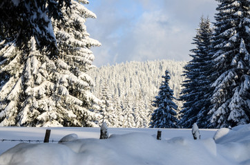 Winter scene. Trees in forest covered with snow on winter day. Amazing Winter Landscape. Pine, Fir and Spruce trees. Winter scenery. Cold winter day on mountain.