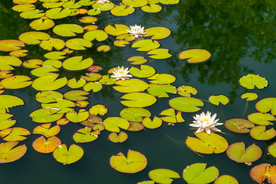 White Water Lilies on Tranquil Summer Pond
