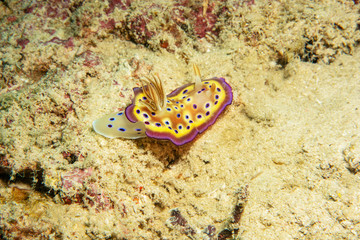 Beautiful yellow nudibranch on the seabed