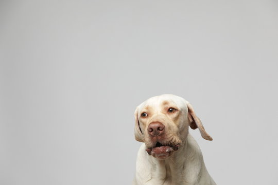 The simple Labrador makes all kinds of funny expressions on the white background