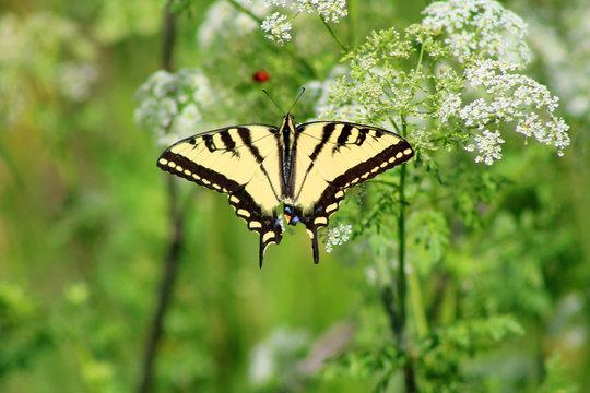 Western Tiger Swallowtail (CA 05692)
